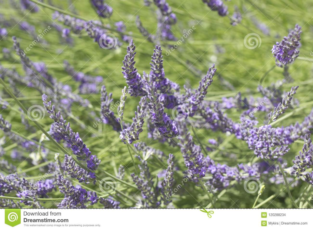Download Beautiful Blooming Lavender Stock Illustration - Illustration of herbal, beautiful: 120288234