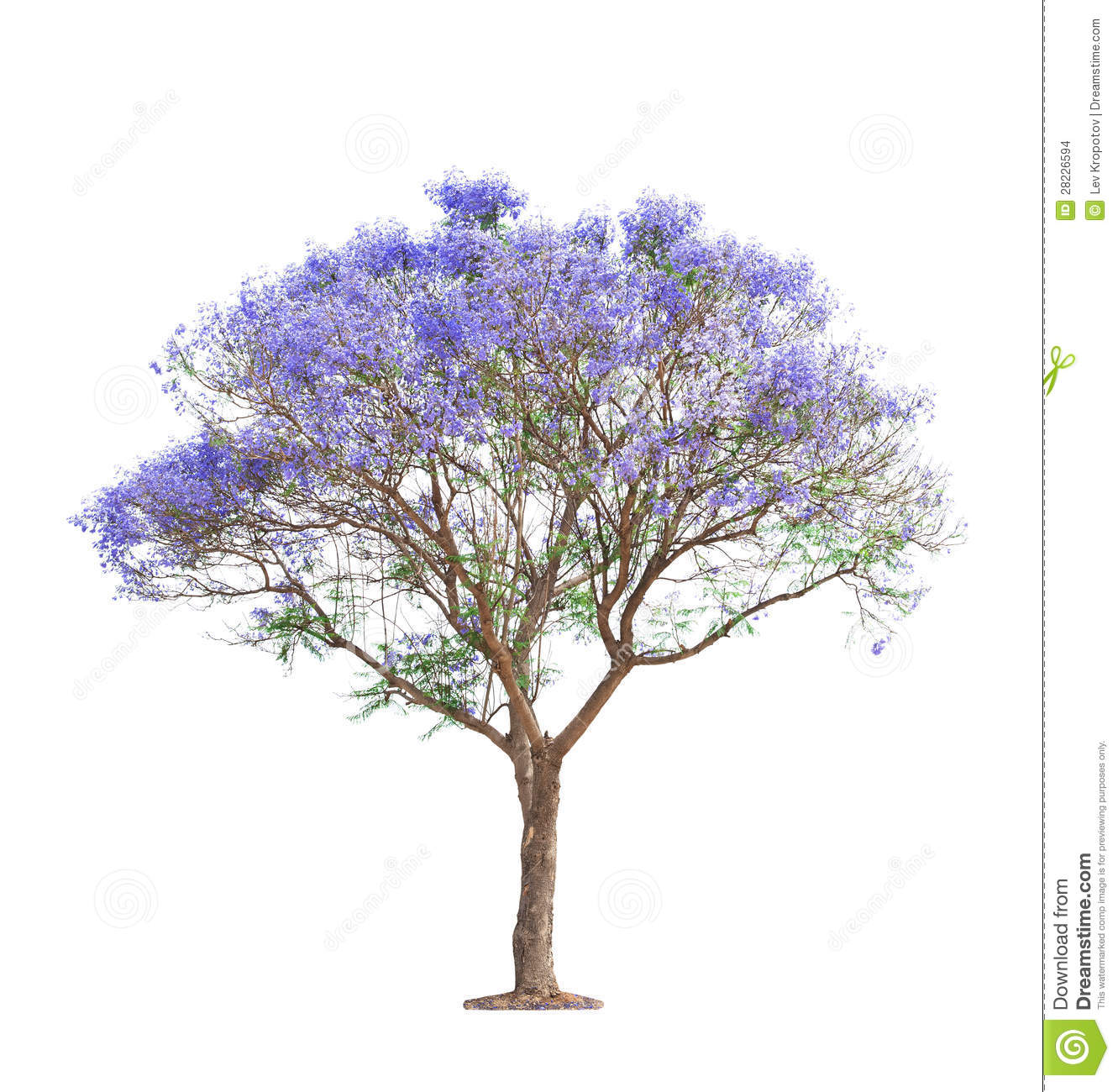 Beautiful Blooming Jacaranda Tree Stock Images - Image: 28226594