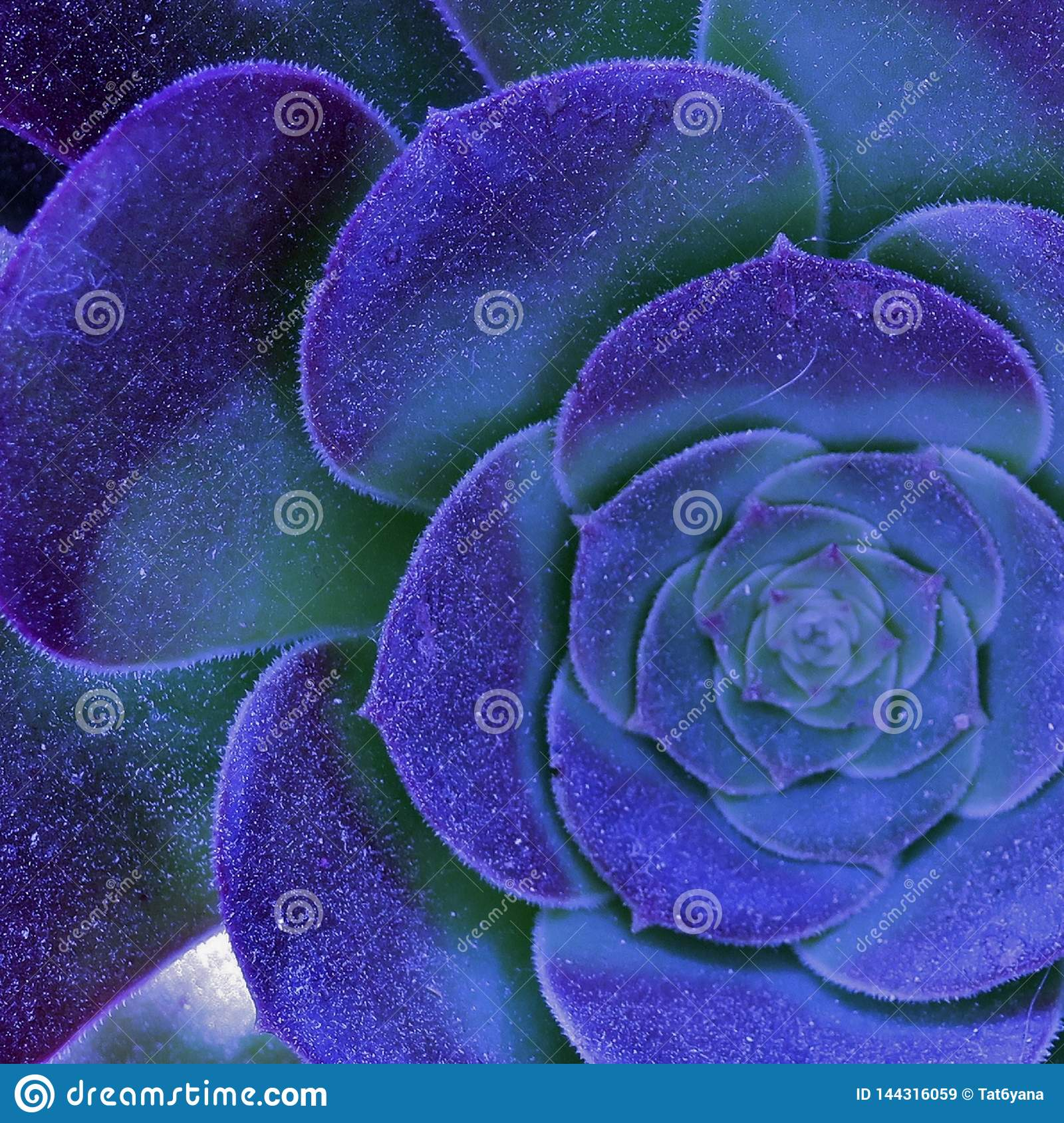 Beautiful blooming large flower of blue-purple color