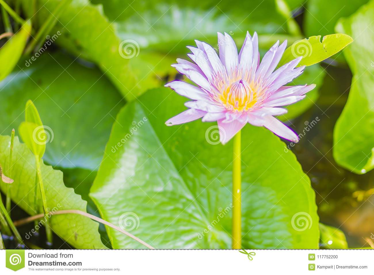 Beautiful Blooming Lotus Flower On Green Leaves Background Lotus