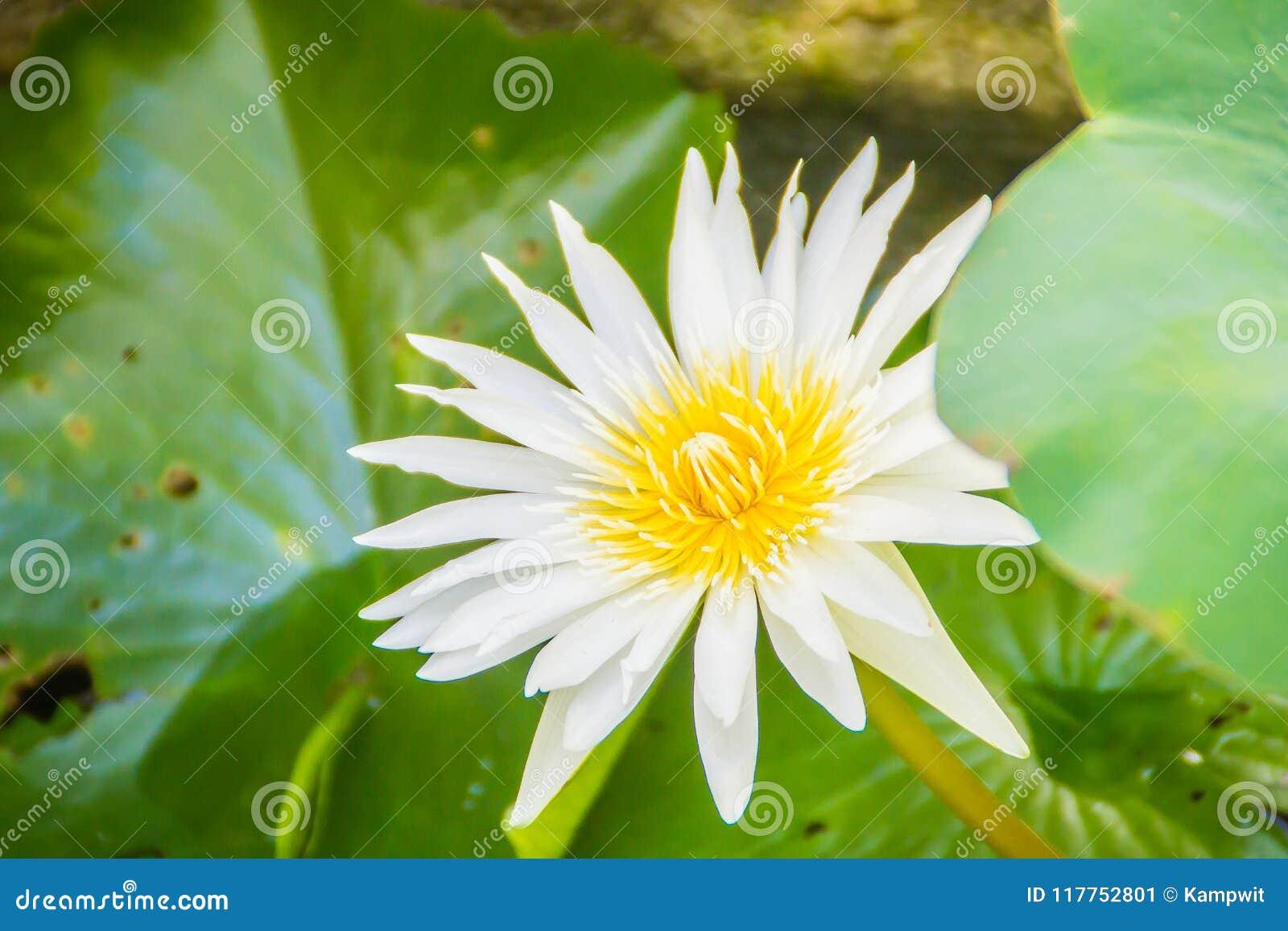 Beautiful Blooming Lotus Flower On Green Leaves Background Lotus