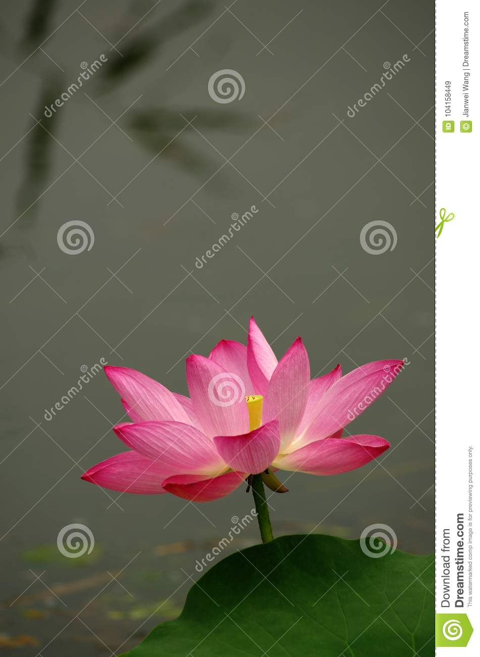 Blooming Lotus Flower In A Pool Stock Image Image Of Colours
