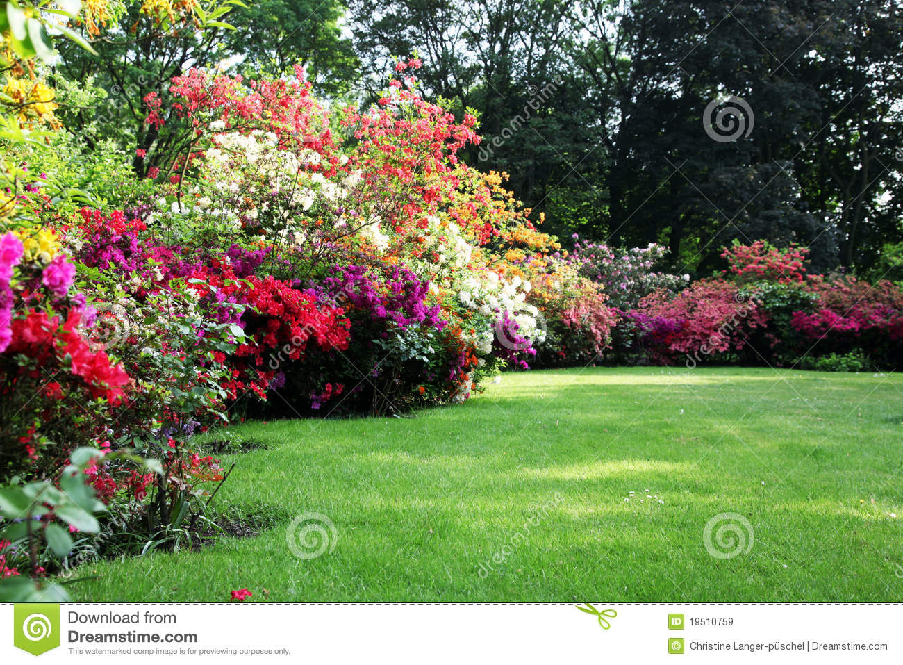 beautiful blooming rhododendron in the garden stock image. Black Bedroom Furniture Sets. Home Design Ideas