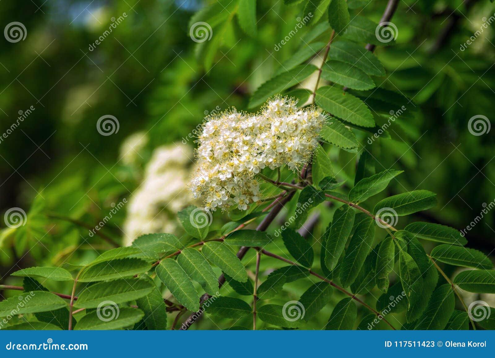 Beautiful Blooming Rowan Tree Branch Stock Image Image Of Blooming