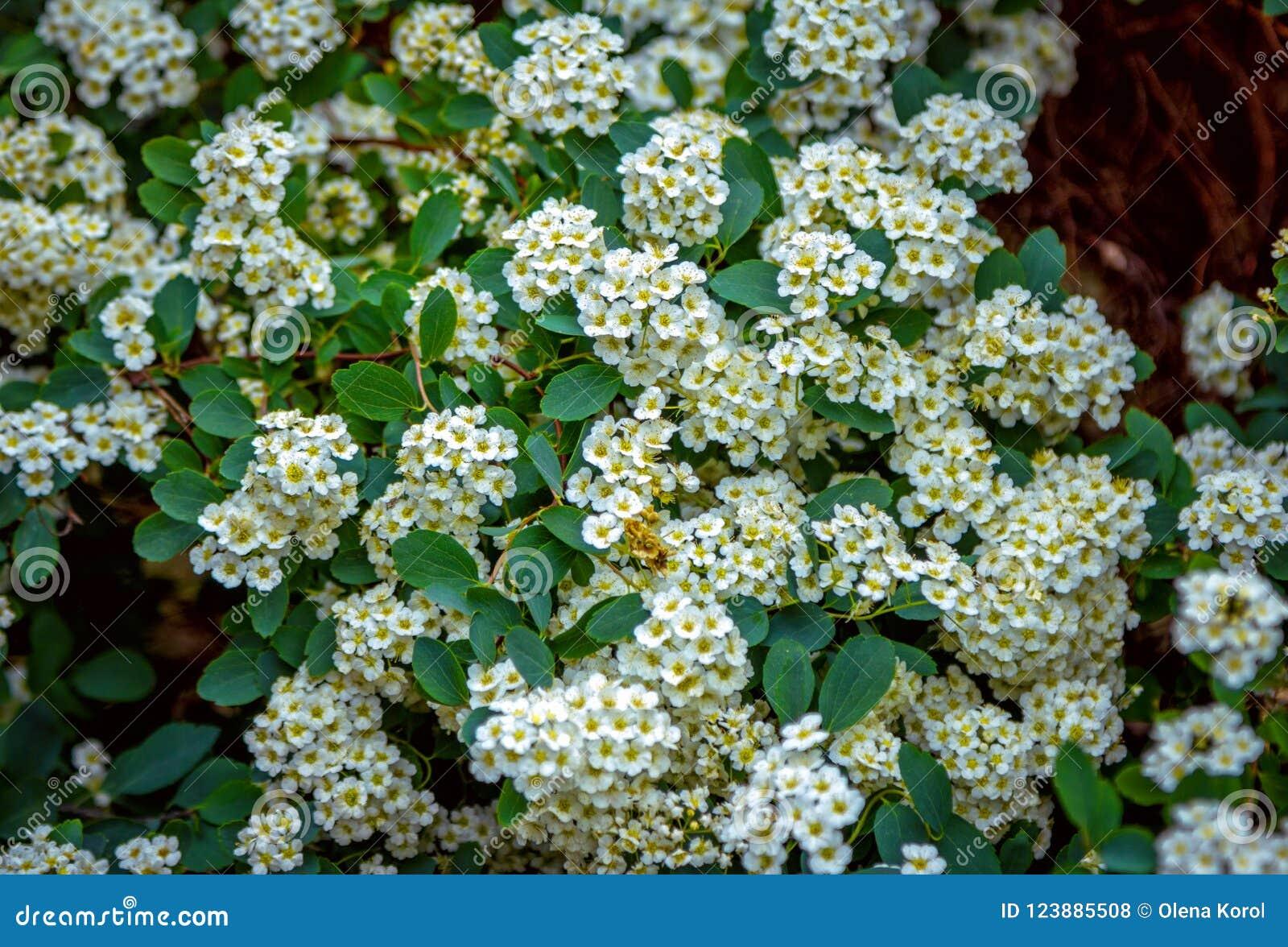 Beautiful Blooming In Spring Spirea Bush Stock Photo Image Of
