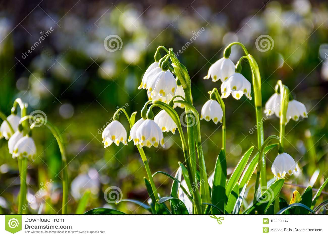 Beautiful blooming of white spring snowflake stock image image of beautiful blooming of white spring snowflake flowers in springtime snowflake also called summer snowflake or loddon lily or leucojum vernum on a beautiful mightylinksfo