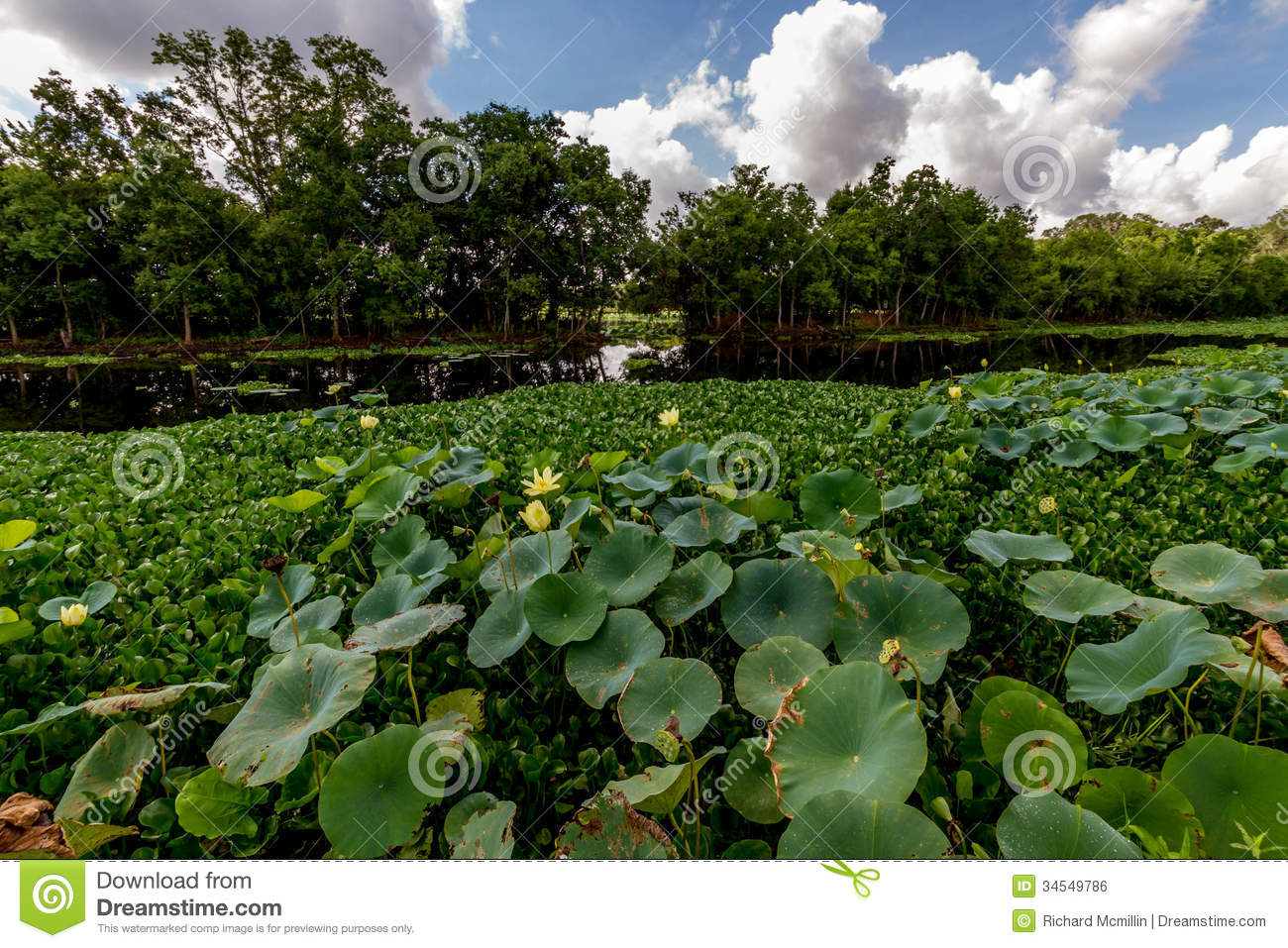 Beautiful Blooming Yellow Lotus Water Lily Pad Flowers And