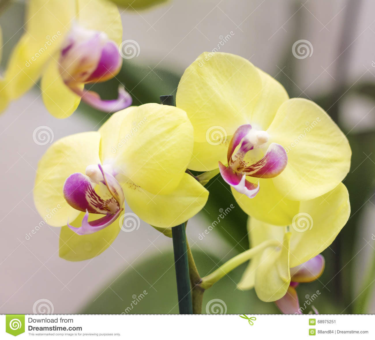 Beautiful blooming yellow orchid flowers
