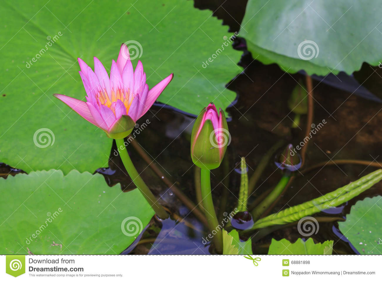Beautiful Blossom Lotus Flower In Thailand Stock Photo Image Of