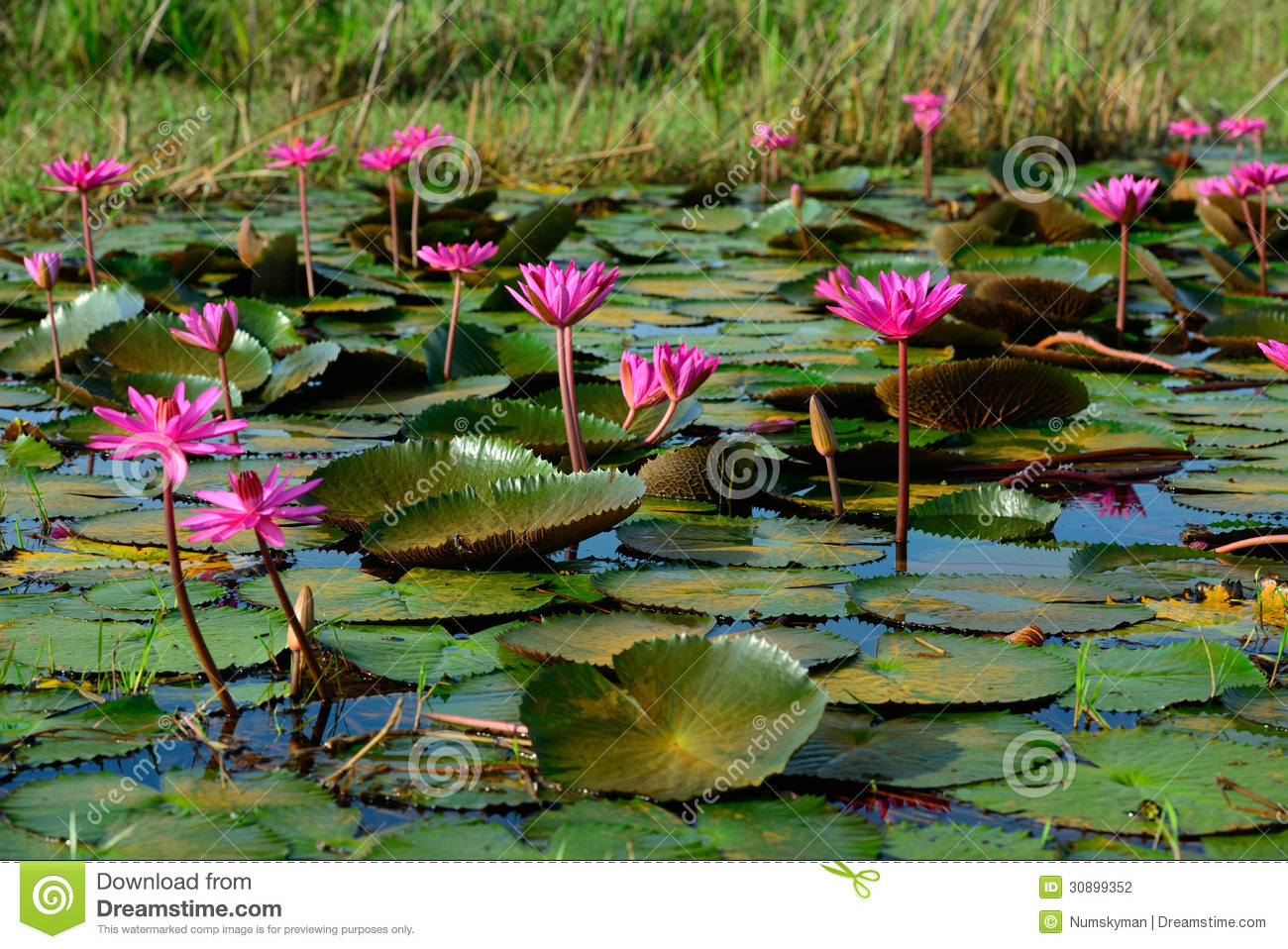 Beautiful Blossom Lotus Flower In Thailand Pond Stock Photo Image
