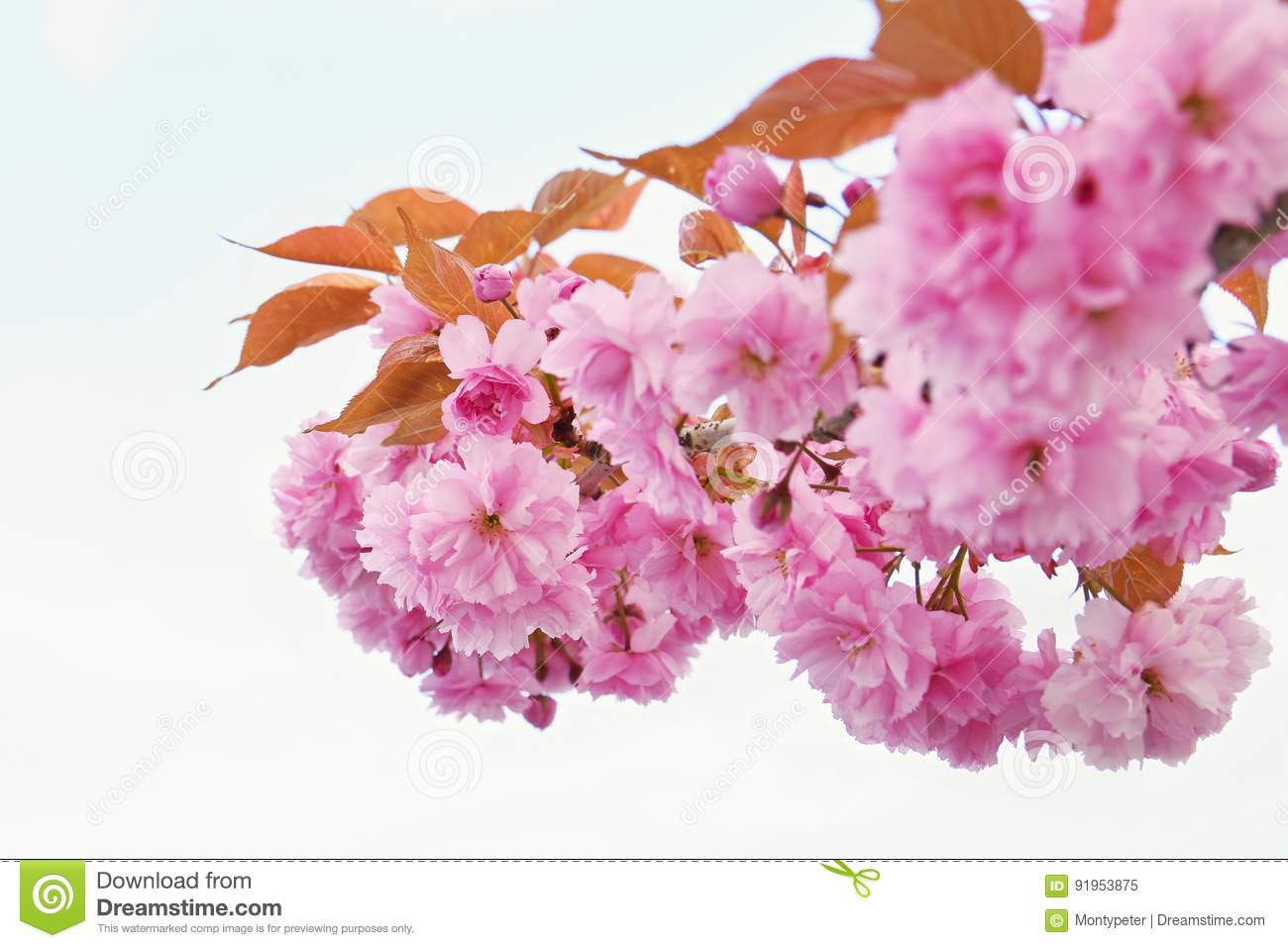 Beautiful Blossom Tree Nature Scene With Sun On Sunny Day Spring