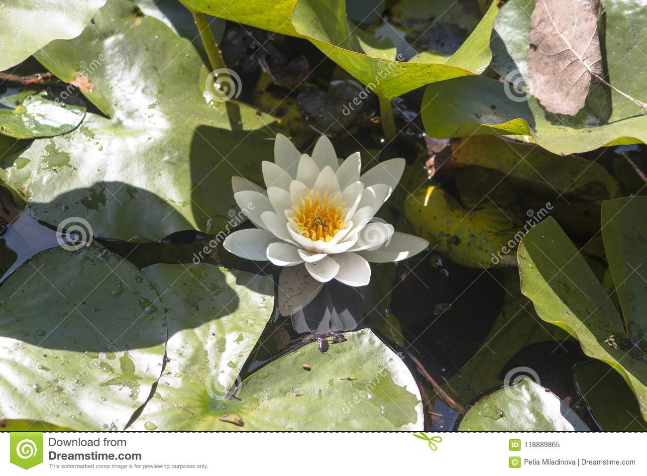 A beautiful blossoming white water rose lily nymphaeaceae stock a beautiful blossoming white water rose lily nymphaeaceae izmirmasajfo