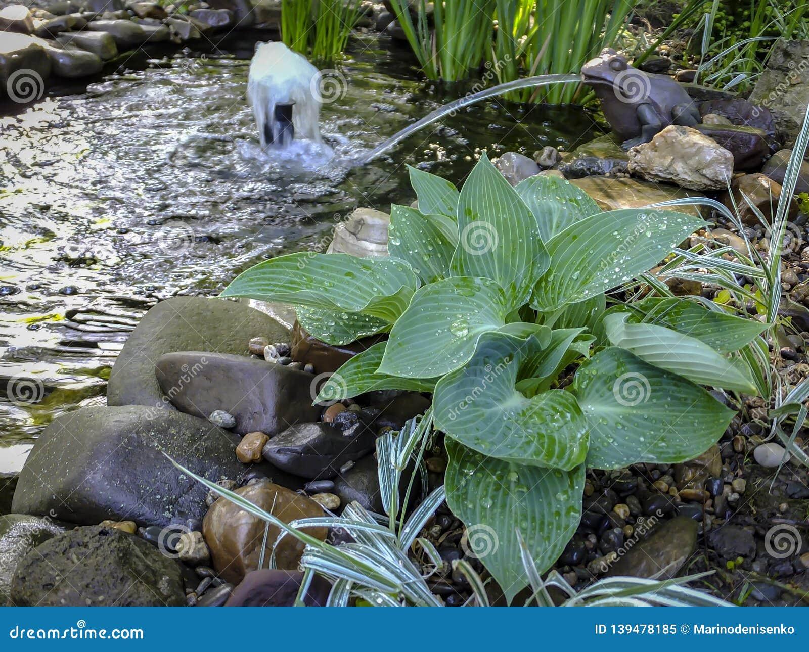 Beautiful Blue Angel Hosta Funkia With A Lush Leaf Grows Near A