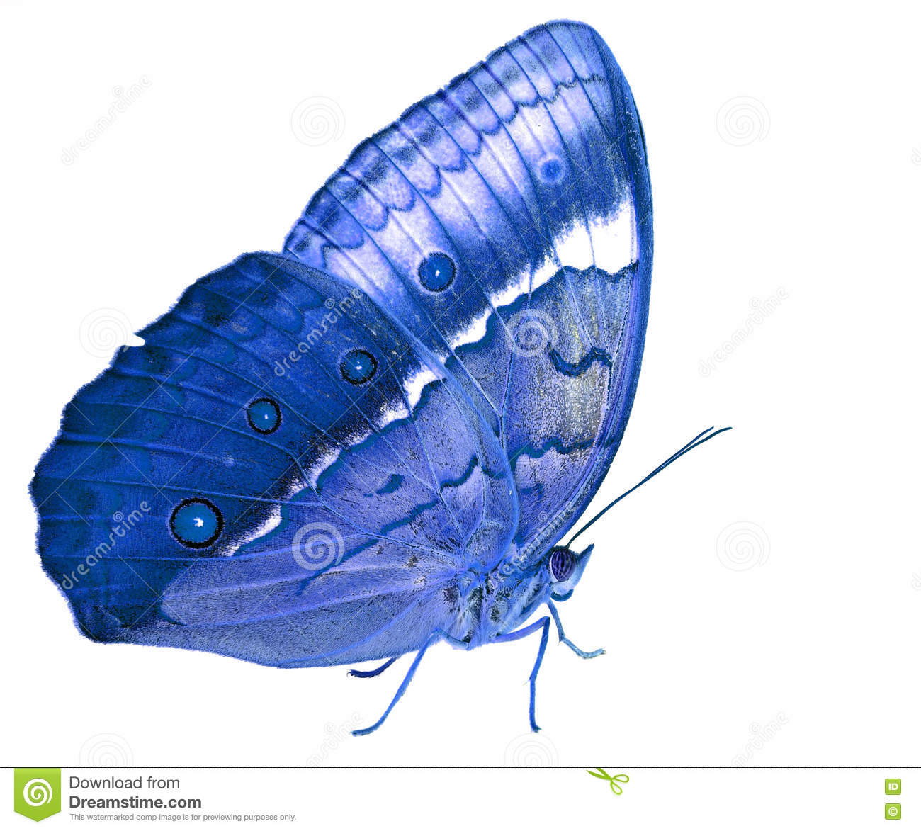 beautiful blue butterfly cambodian junglequeen side view