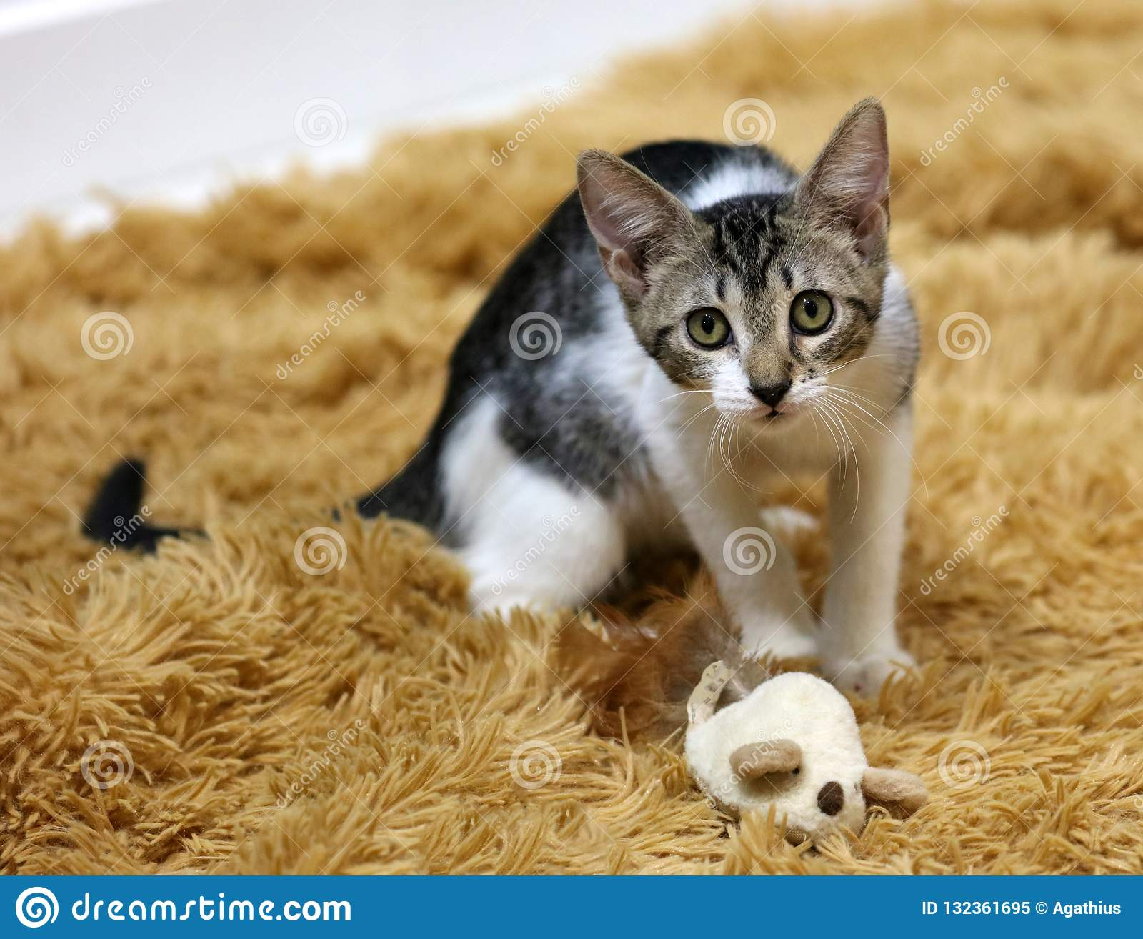 Beautiful blue eyes female cat, hypoallergenic cat. Animal that can be pet by people who is allergic to cats.