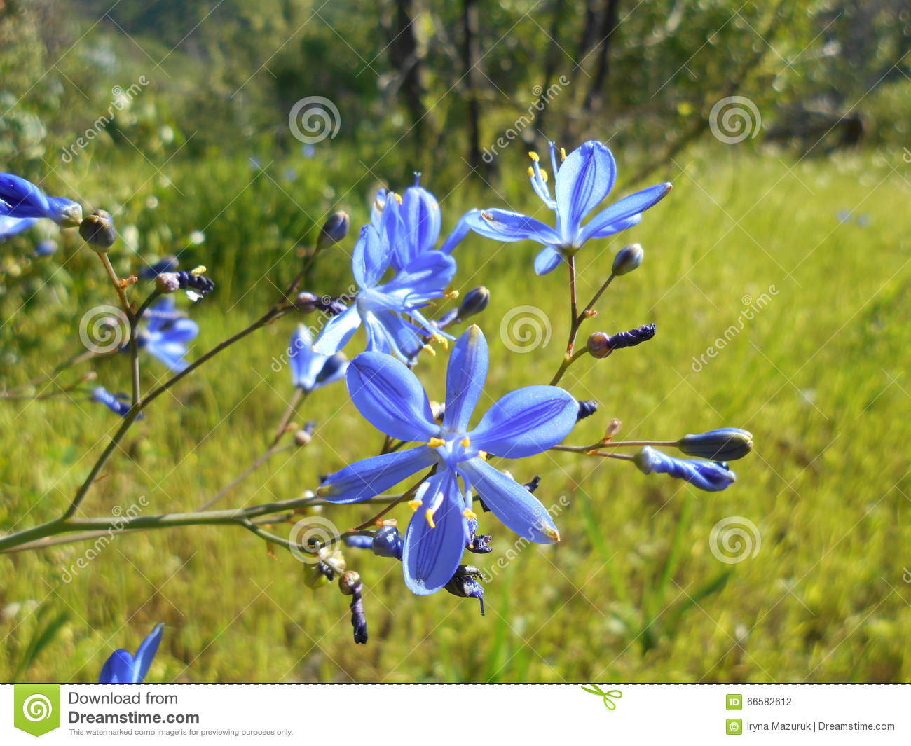 Beautiful Blue Flower On A Meadow In The Woods Stock Photo Image