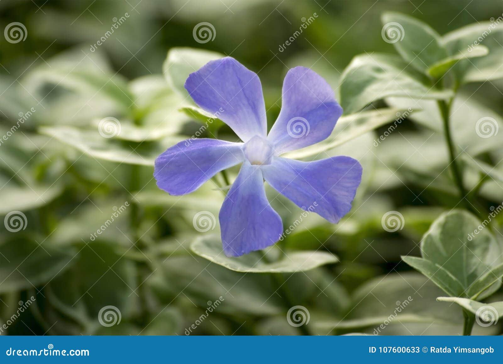 Beautiful Blue Flower Of Vinca Vine Stock Image Image Of Cover