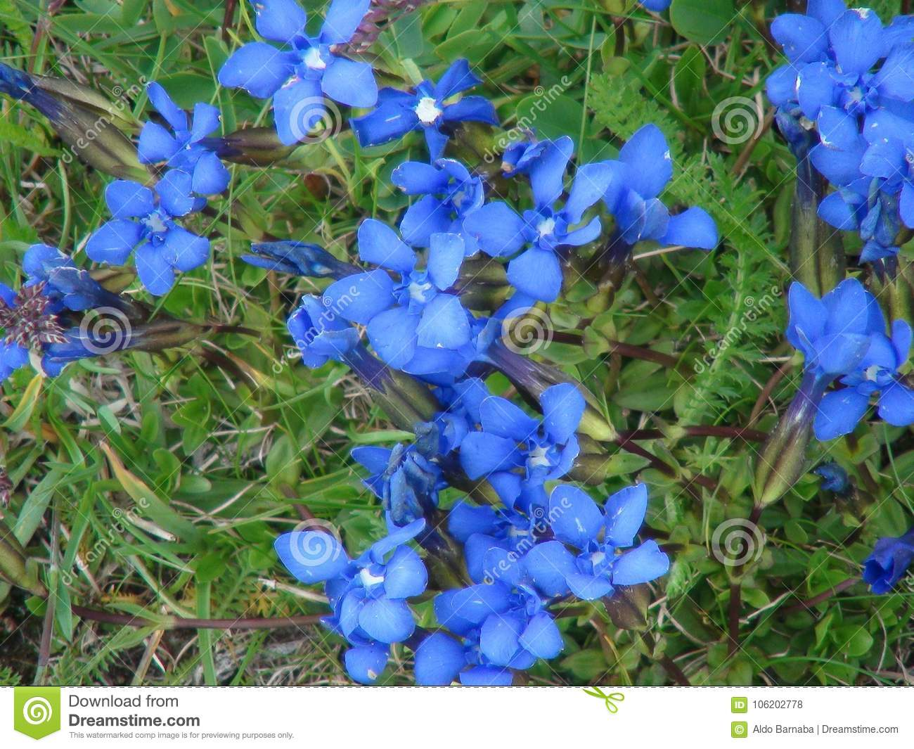 Beautiful Blue Flowers In The French Alps Mountain Stock Photo