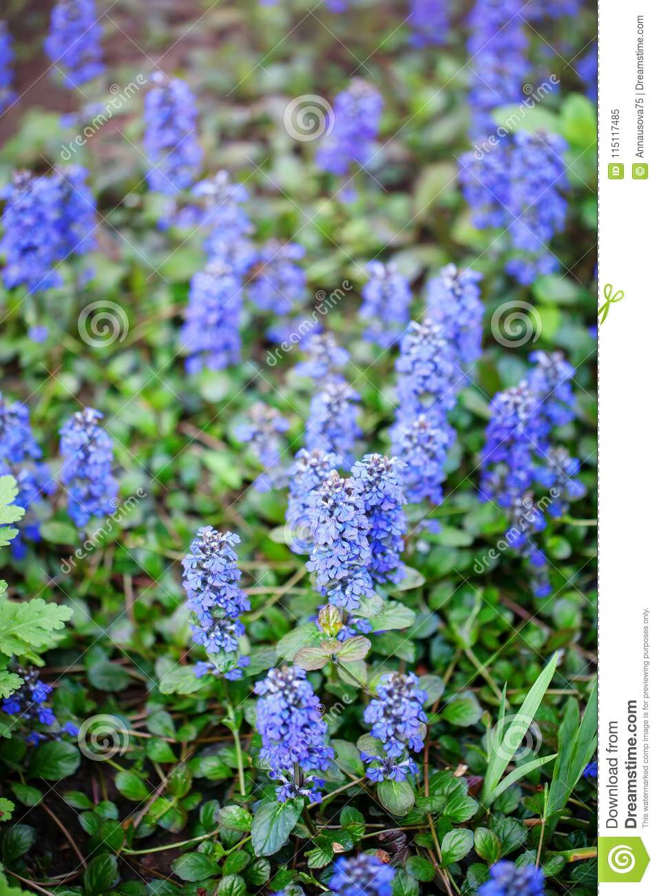 The Beautiful Blue Flowers Of Sage In The Garden Floral Background