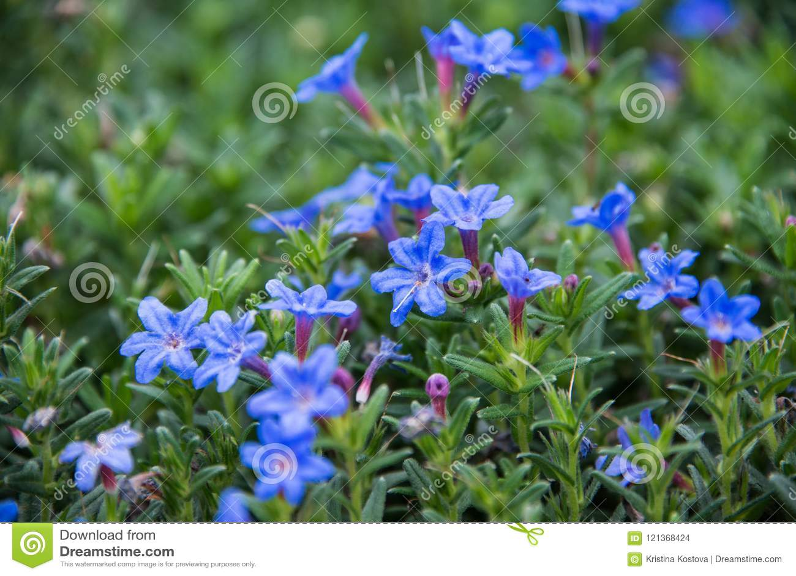 A beautiful blue Lithodora in a green soil background.
