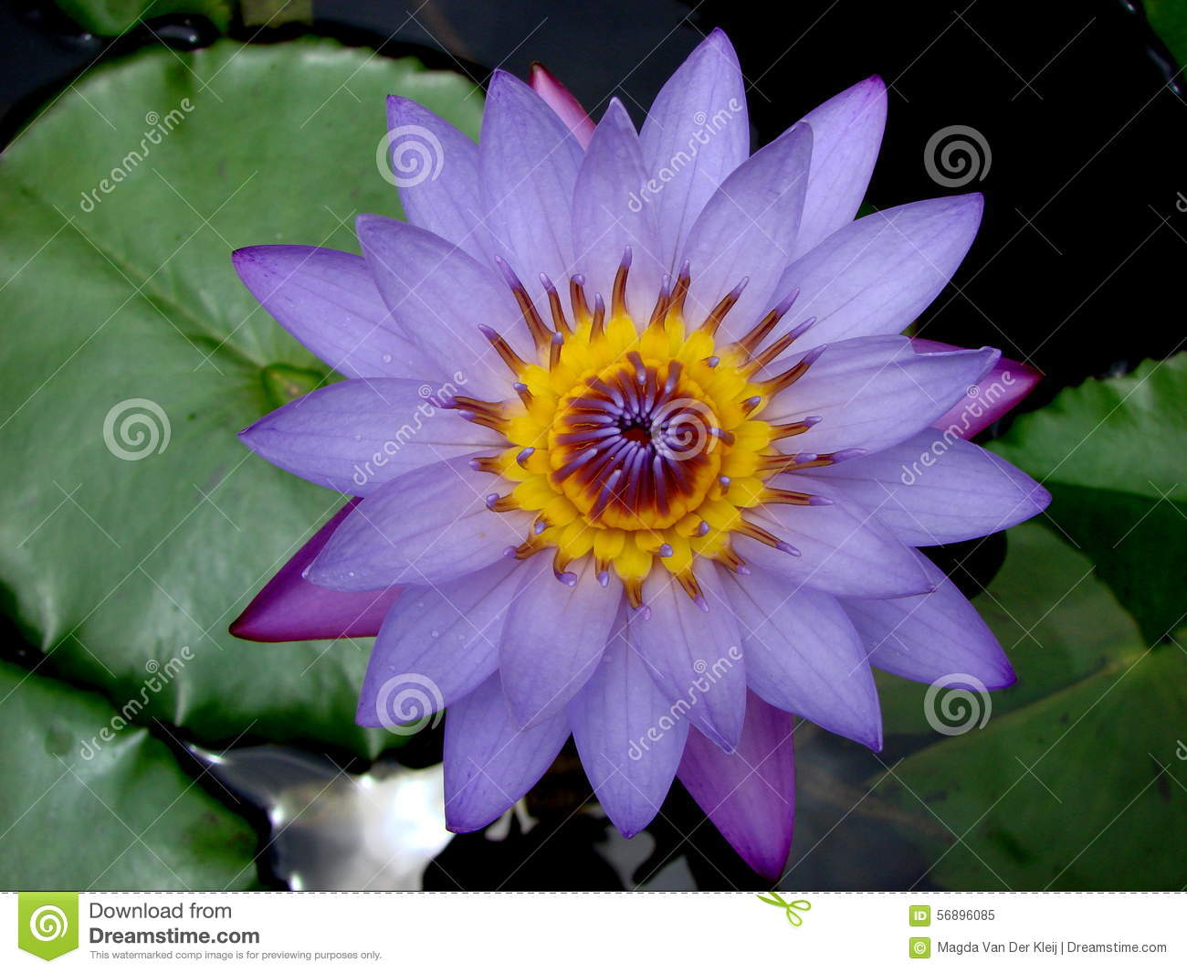 beautiful blue lotus flower in india stock photo  image, Beautiful flower