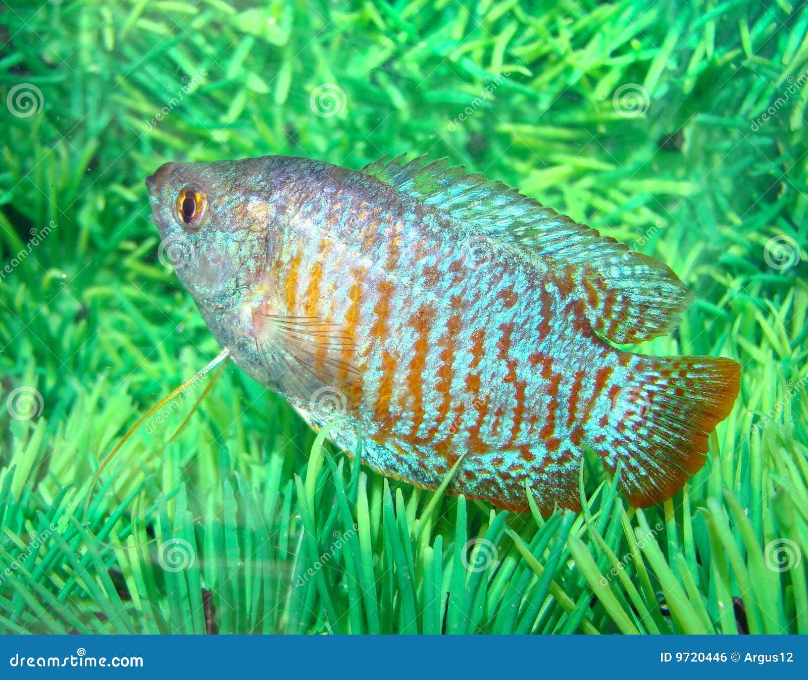 Beautiful Blue Red Aquarian Small Fish Royalty Free Stock