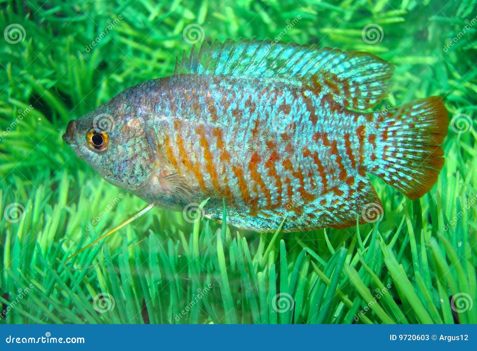 Beautiful Blue Red Aquarian Small Fish Stock Photos