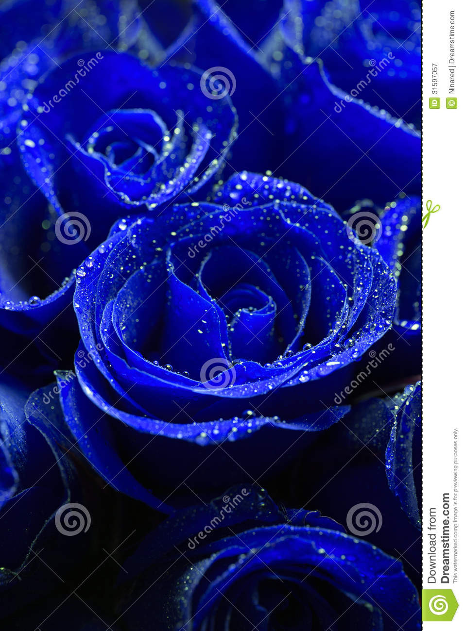 Beautiful Blue Eyes Cute Famous Girl Hair Listick: Beautiful Blue Roses Stock Image. Image Of Marriage