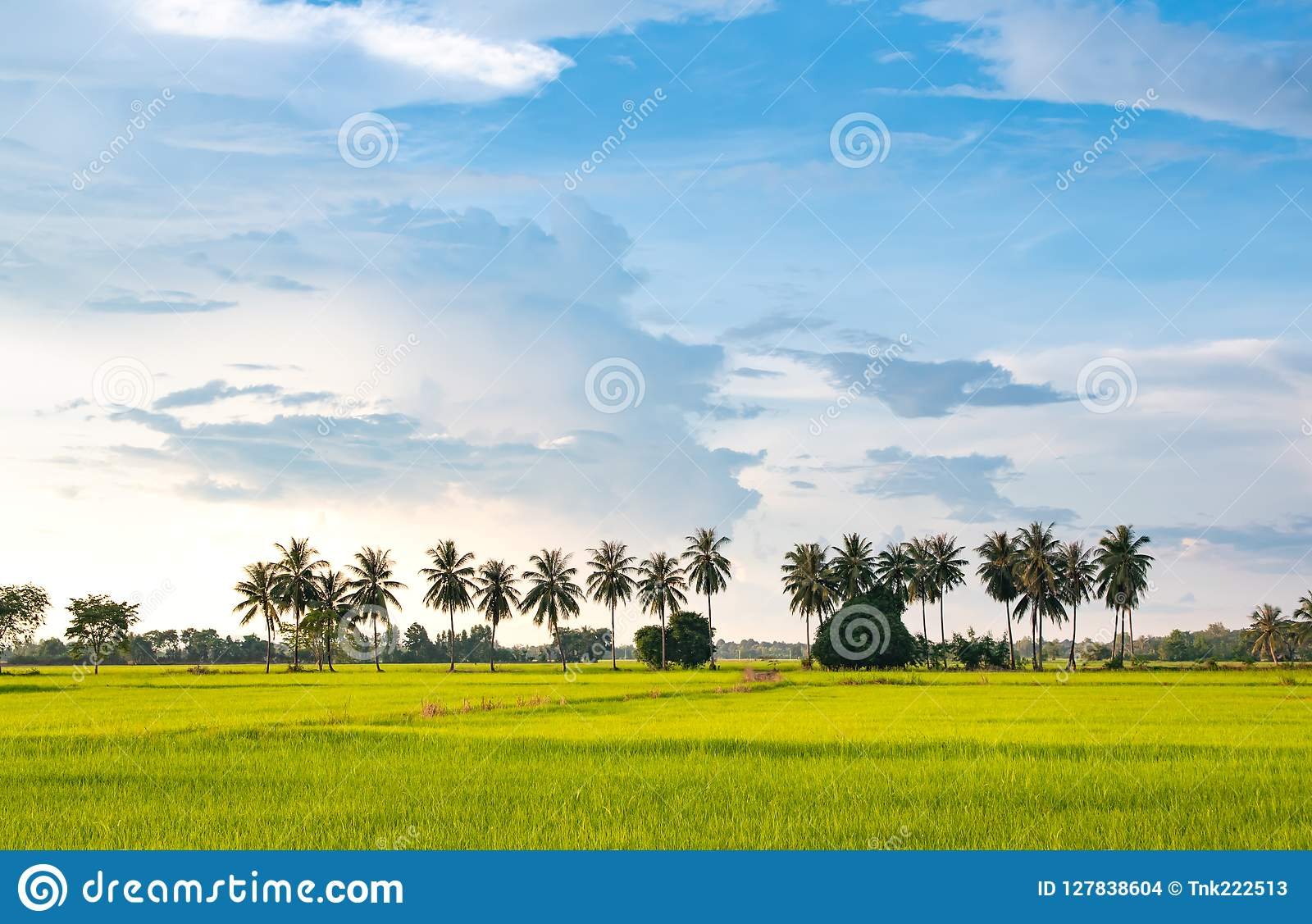 Nature landscape, coconuts tree growing up in the organic rice field and beautiful blue sky cloud background in countryside.