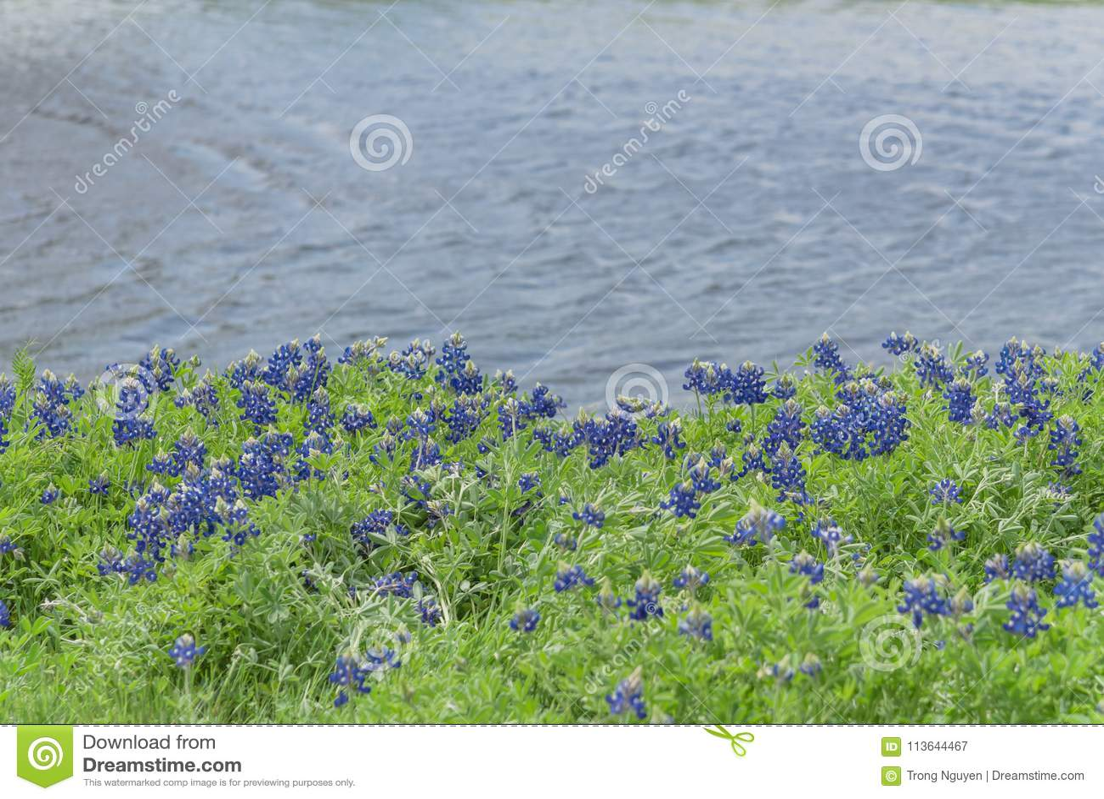 Bluebonnets Blossom Along A Lake In Ennis, Texas, USA ...