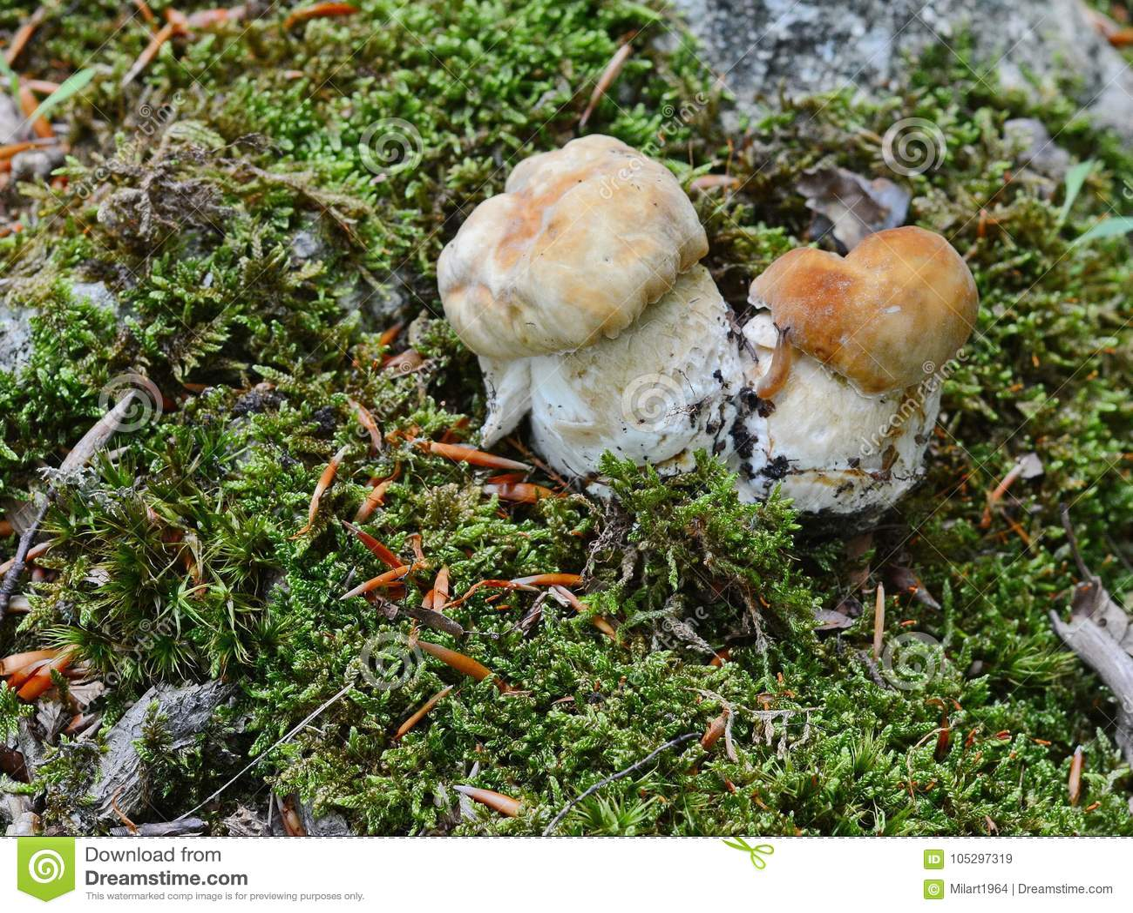 Forest boletus mushrooms on the ground.