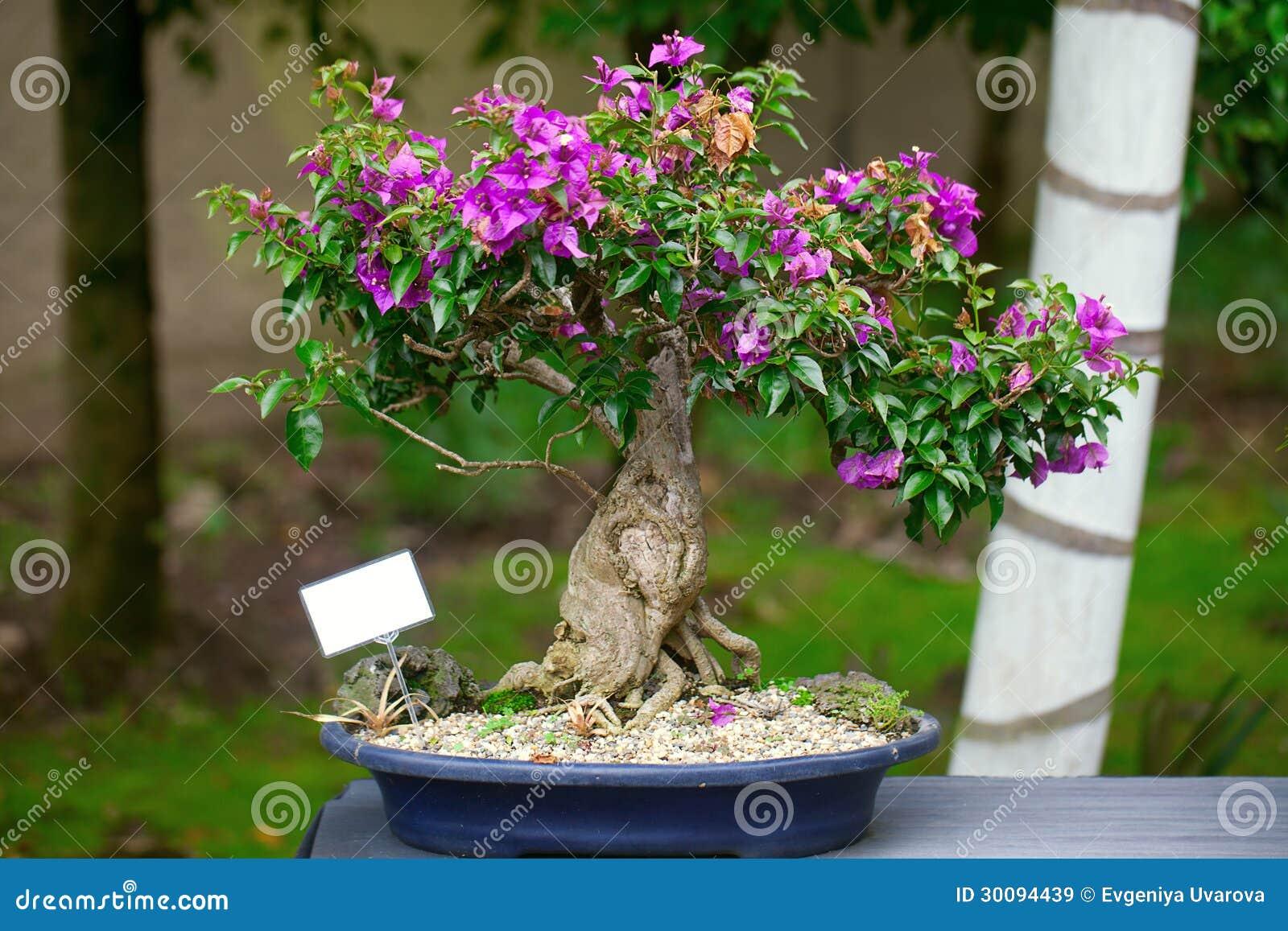 Beautiful Bonsai Bougainvillea Stock Images - 39 Photos