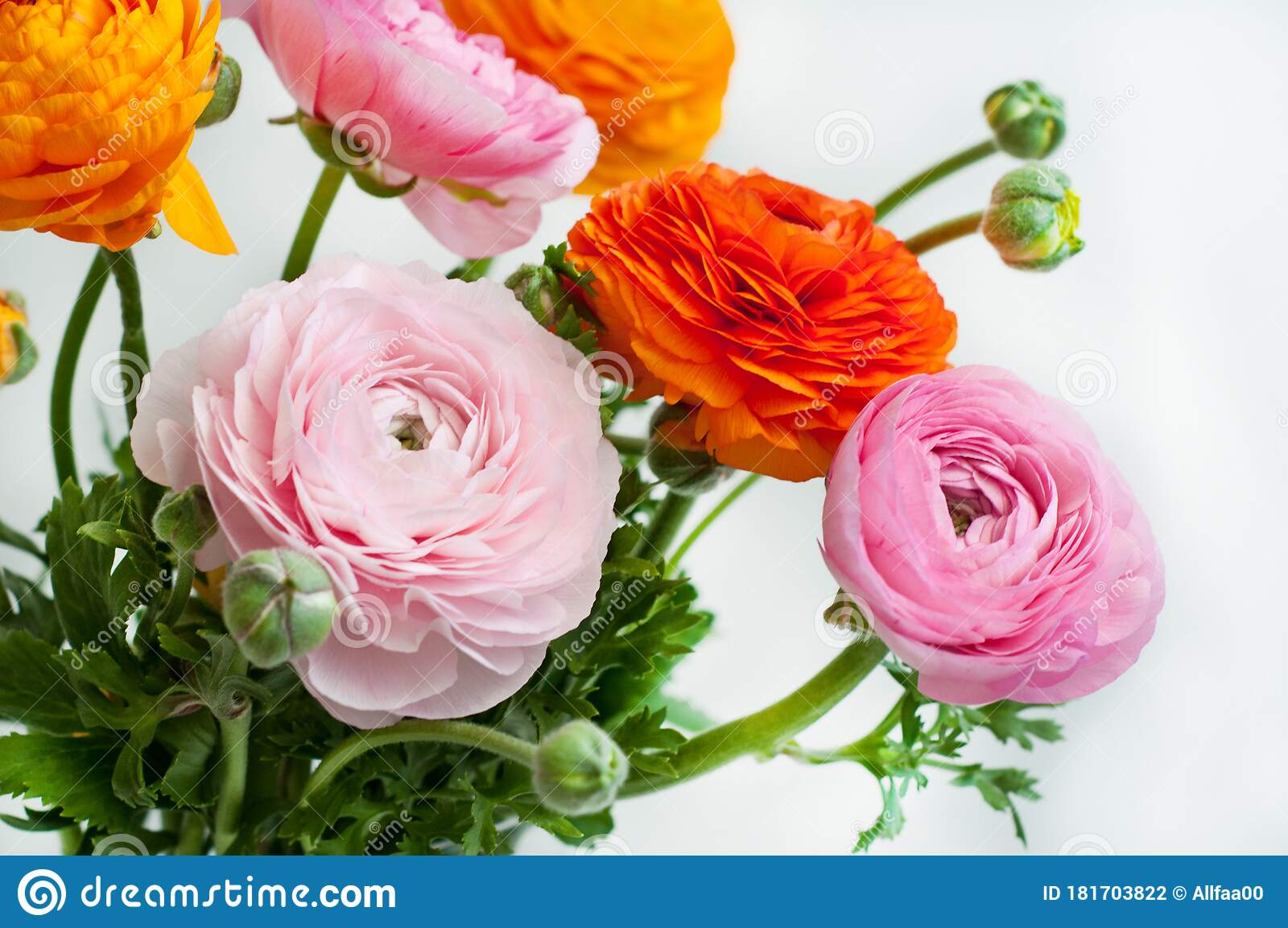 Beautiful Bouquet Of Ranunculus Flowers Of Orange And Pink Color On A White Background Flowers And Buds Stock Photo Image Of Green Delicate 181703822