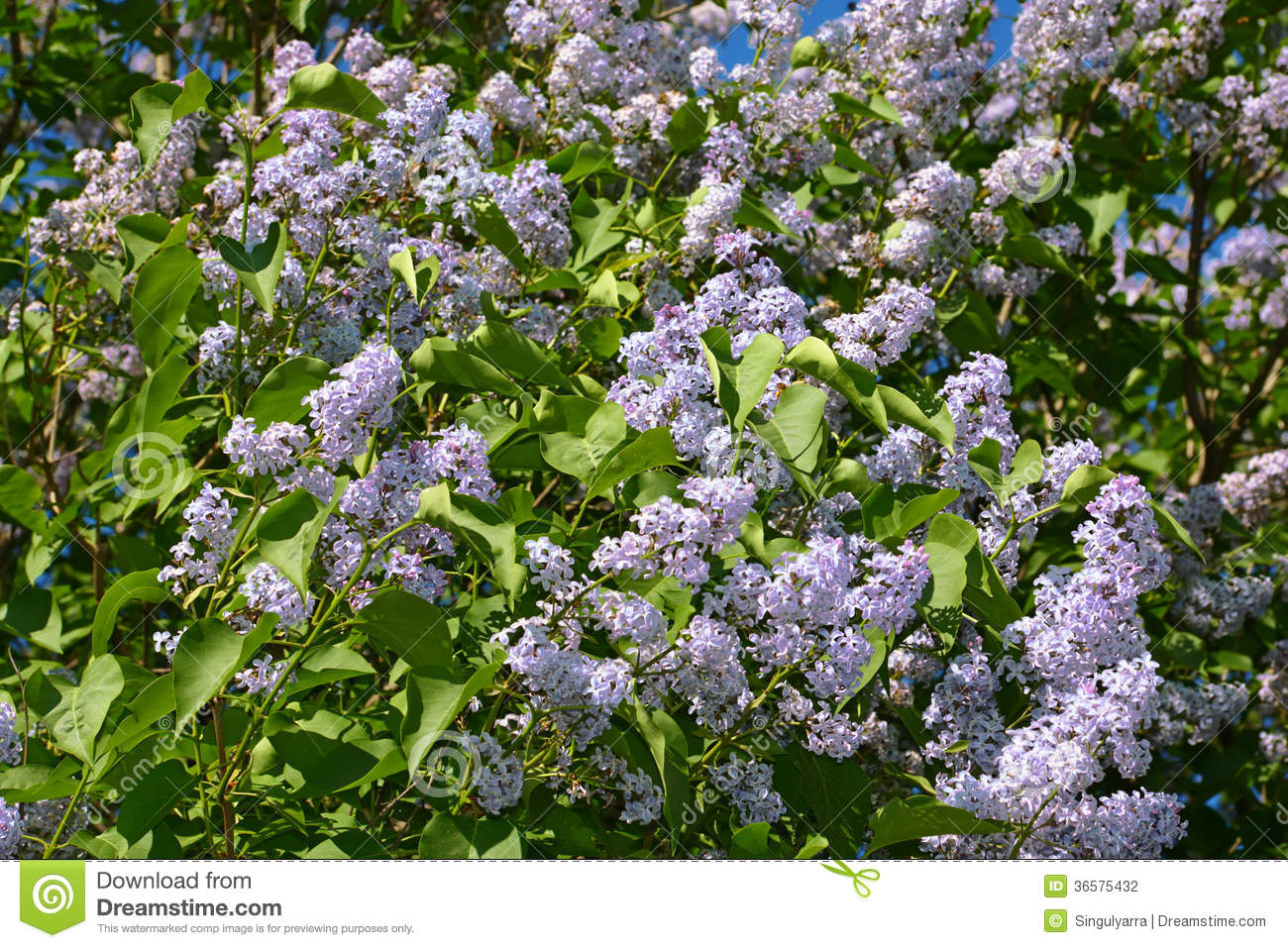 Beautiful Branches Of Large Blooming Lilacs Bush Stock
