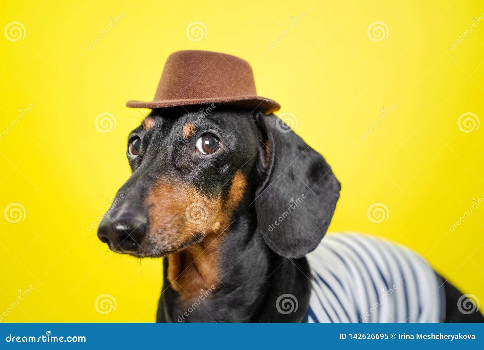 Beautiful Breed Dachshund Dog, Black