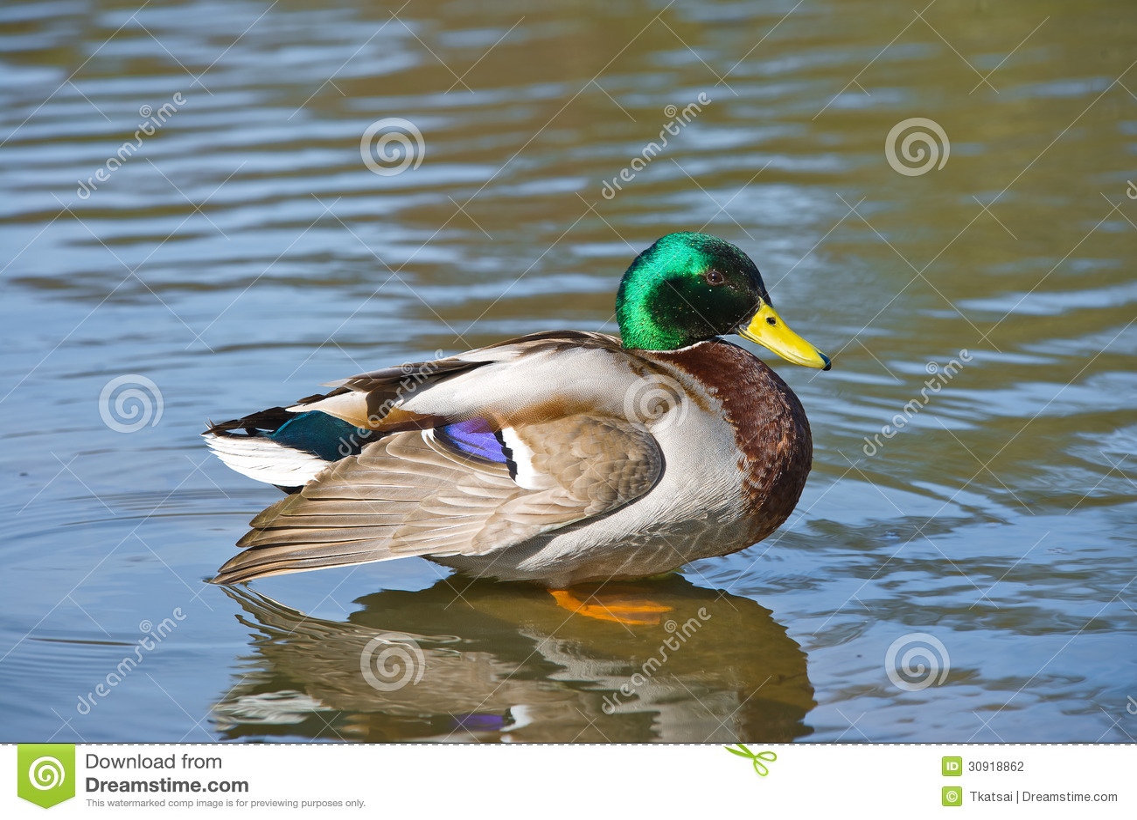 Beautiful Bright Duck Mallard Bird Swimming In A Lake ...
