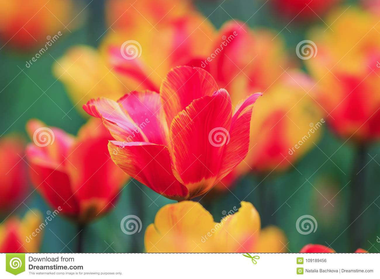 Beautiful Bright Flowers And Buds Of A Tulip Blooming In The Spr