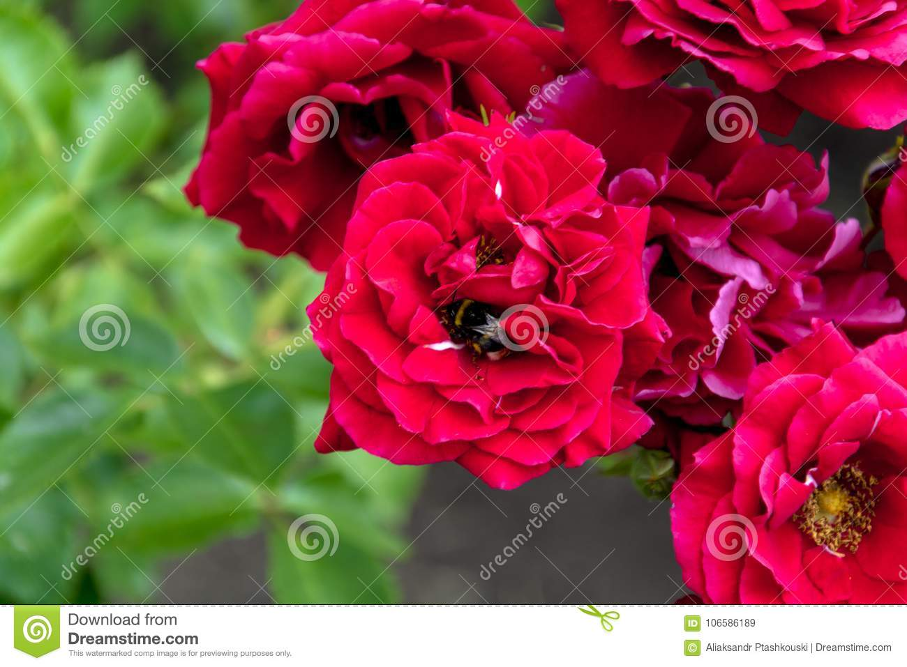 Beautiful Bright Flowers Of Roses In A Sunny Summer Garden Stock