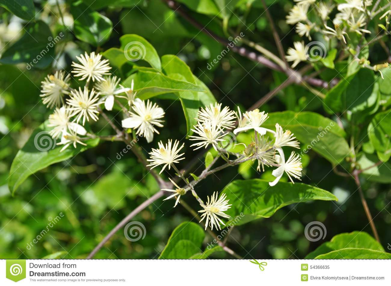 Beautiful Bright Green Tree With Little White Flowers Stock Image