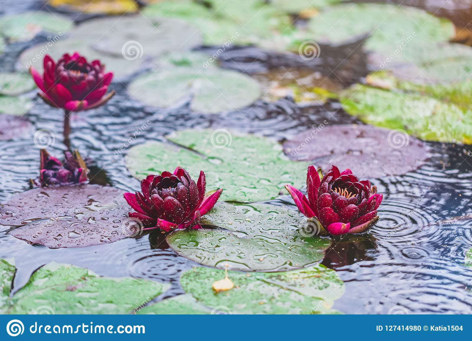 Beautiful bright nature floral background with waterlily in the rain beautiful bright nature floral background with waterlily in the rain red lotus flowers growing in mightylinksfo