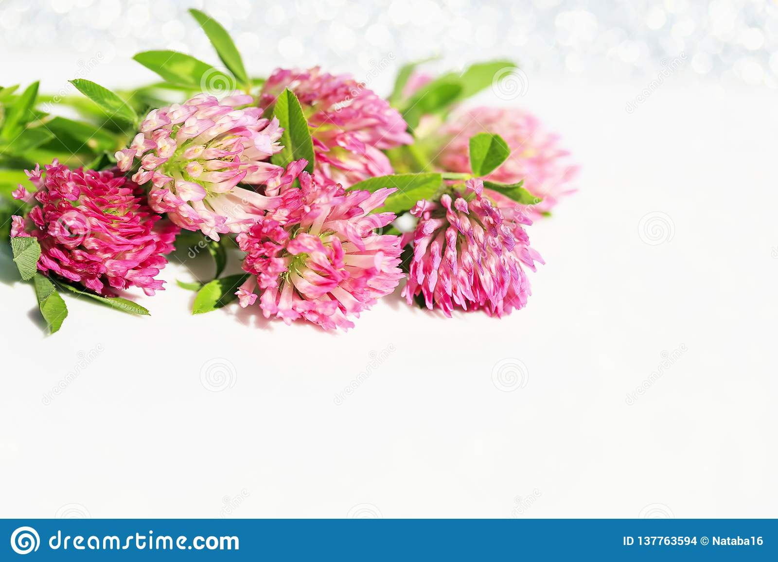 Beautiful bright pink clover flowers on white festive shiny background