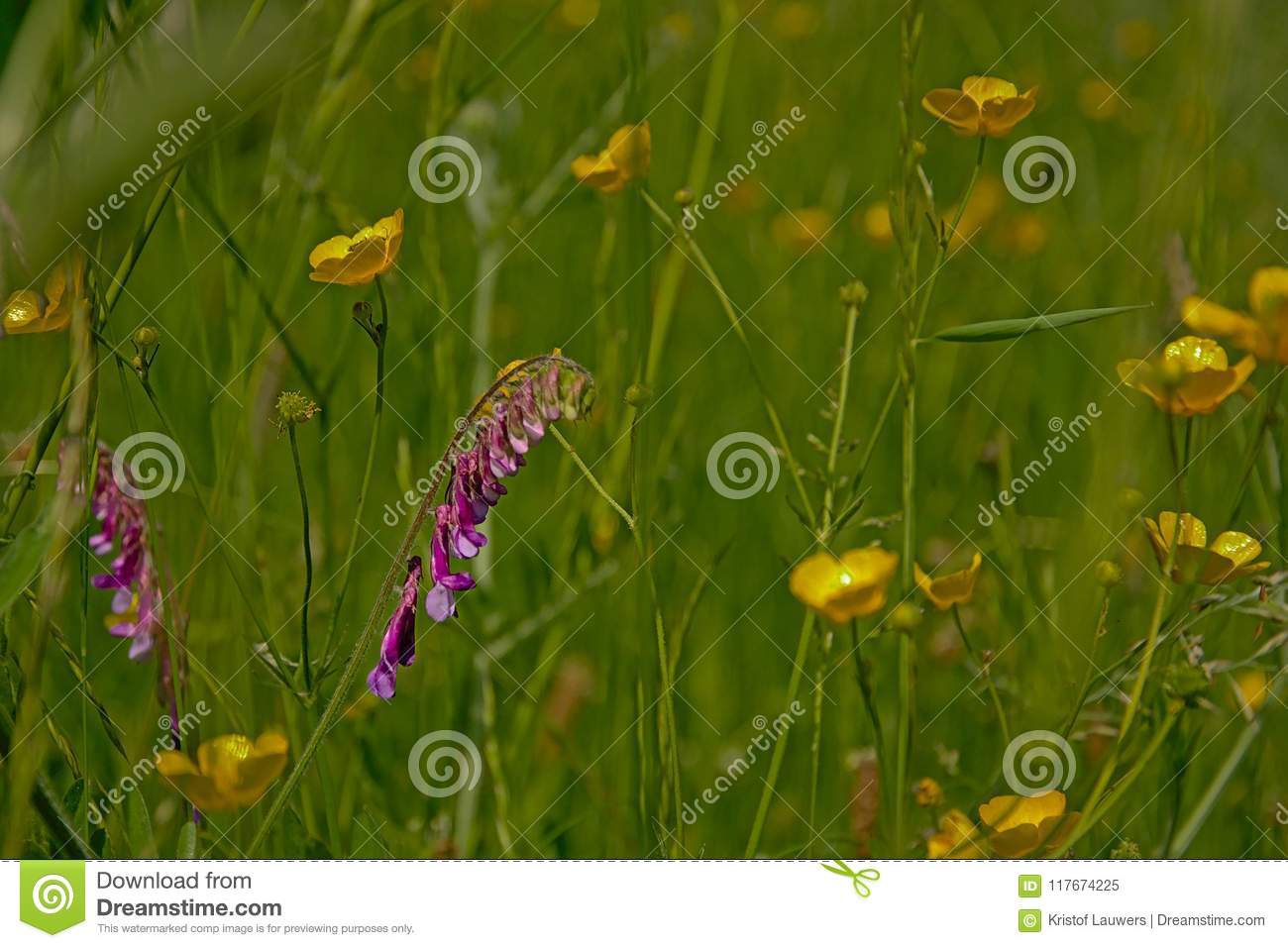 Purple hairy vetch flowers and yellow buttercups in a meadow stock purple hairy vetch flowers and yellow buttercups in a meadow mightylinksfo