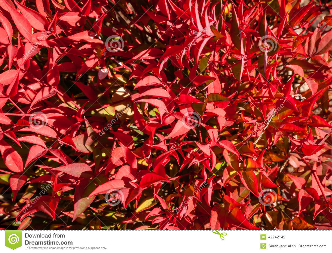 Beautiful bright red winter leaves of dwarf nandina cultivar stock photo image 42242142 for Comarbuste a feuille rouge
