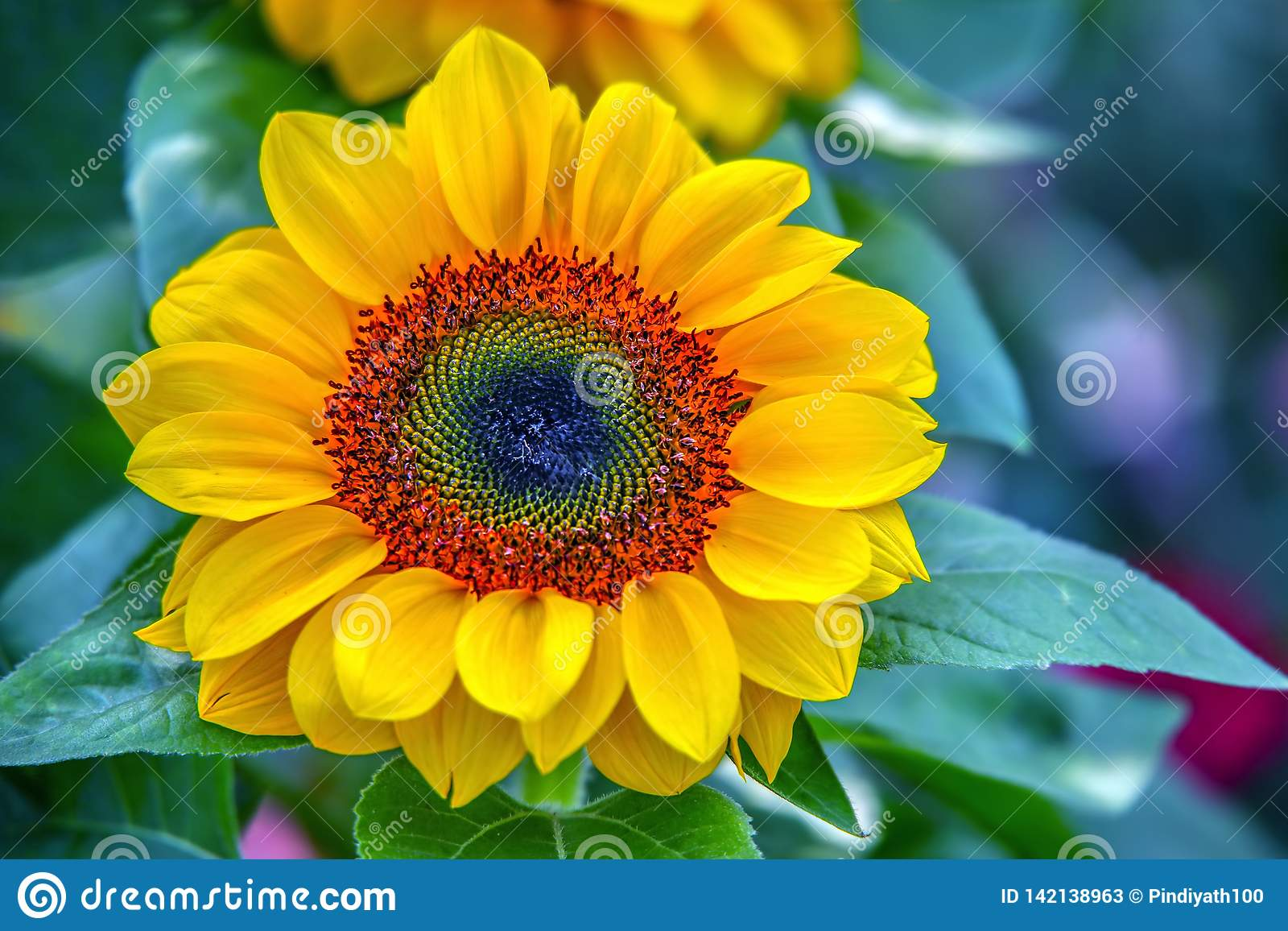 Beautiful and bright tropical sunflower