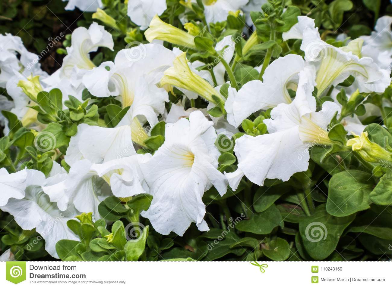 Bright white trumpet flowers with green leaves