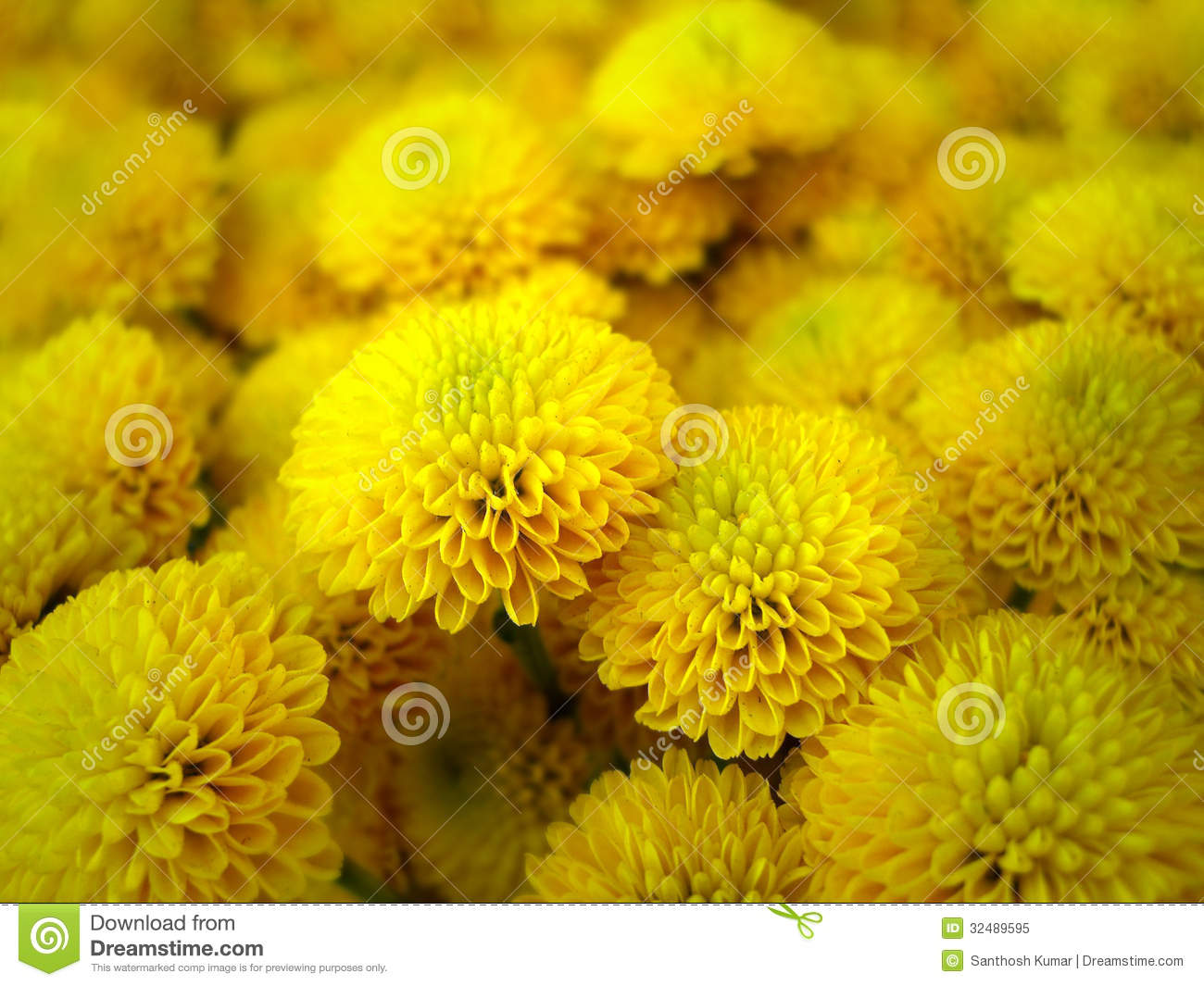 Beautiful bright yellow dahlia flower valley flower close up stock beautiful bright yellow dahlia flower valley flower close up izmirmasajfo