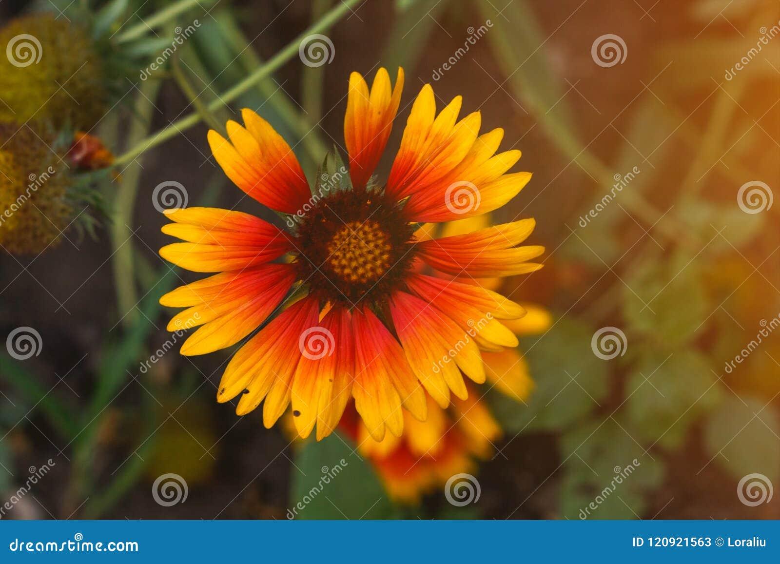 Beautiful Bright Flower Helenium On Blooming Green Meadow Stock