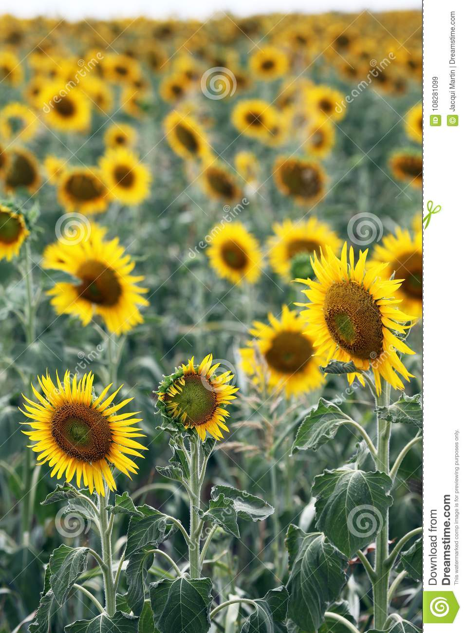 Beautiful Sunflowers In Field Stock Image Image Of Petals Insect