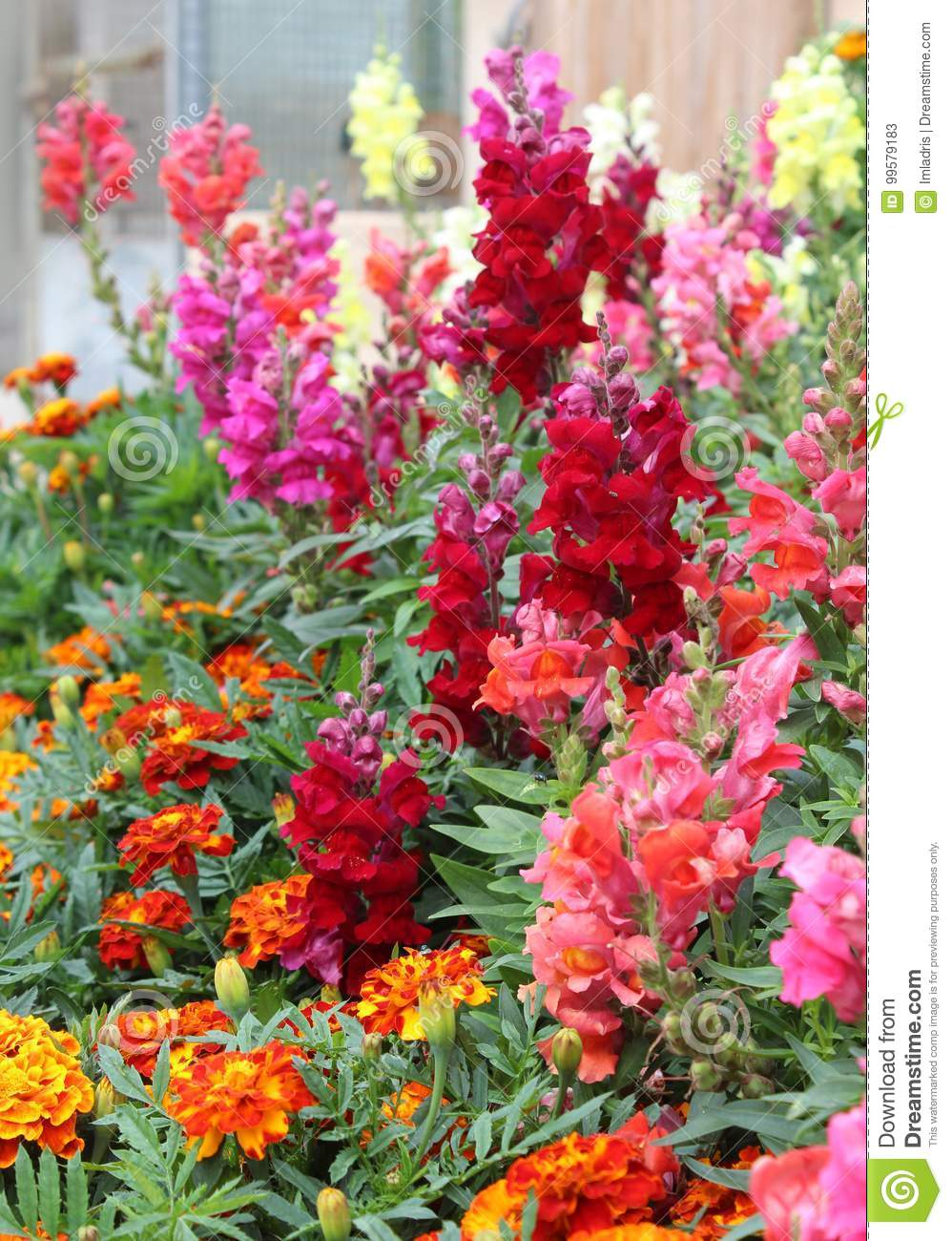 Summer Bedding Plants stock image. Image of flowering - 99579183
