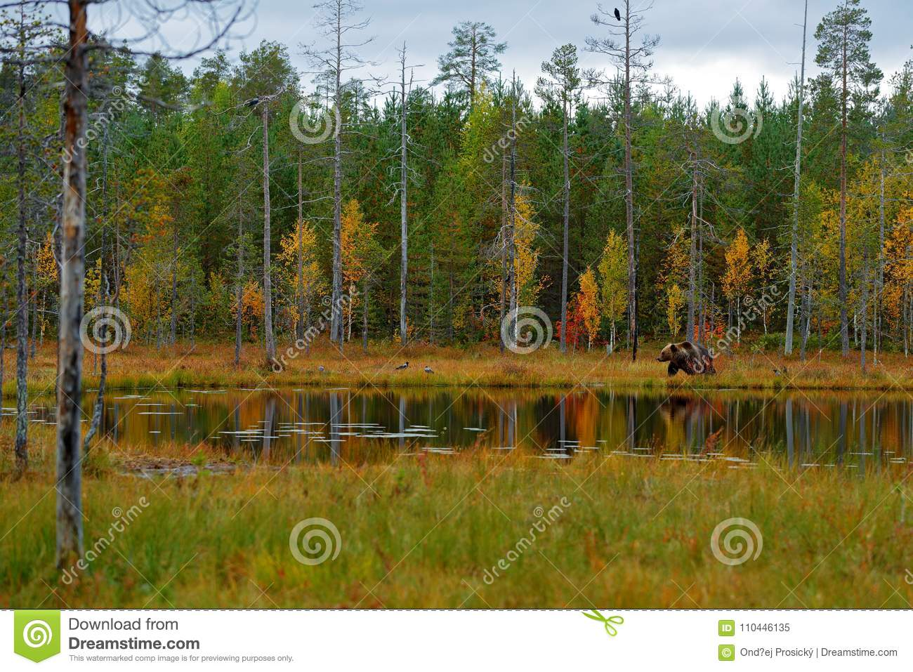 Beautiful brown bear walking around lake with fall colours. Dangerous animal in nature wood, meadow habitat. Wildlife habitat from